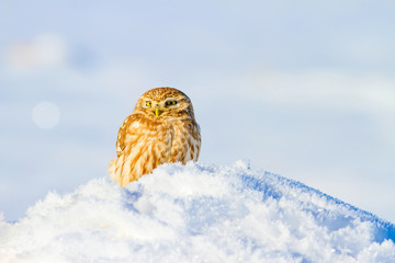 Wİnter and owl.  Winter nature background. Owl: Little Owl Athene noctua.