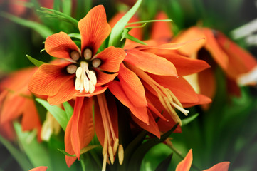 Close up of a Fritillaria Imperialis Bloom