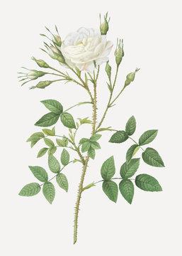 White rose of rosenberg