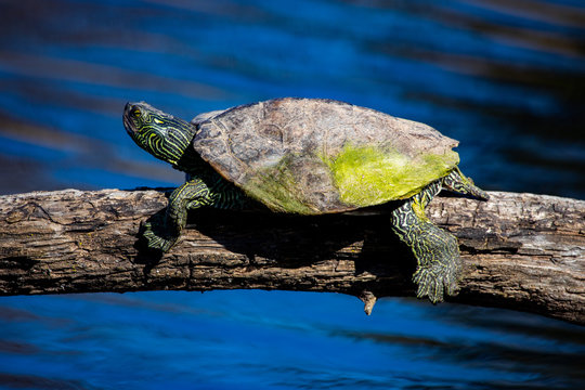 April 22 2019 Windsor Ontario Ojibway Park Wildlife Reptiles Turtles Map Turtle Conservation Status Concerned Threatened Species