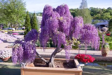 Foto auf Acrylglas Bonsai 足利市 あしかがフラワーパーク むらさき藤の盆栽