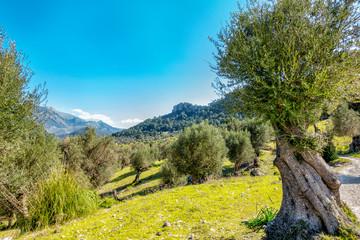 Poster Oliviers Schafsweide mit Olivenbäumen im zeitigen Frühjahr im Tramuntana-Gebirge auf Mallorca