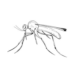 vector, isolated, sketch mosquito, lines, icon