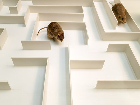 Two rats are in different parts of the white maze.