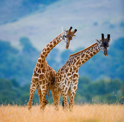 Wall Mural - Two male giraffes fighting each other in the savannah. Kenya. Tanzania. East Africa.