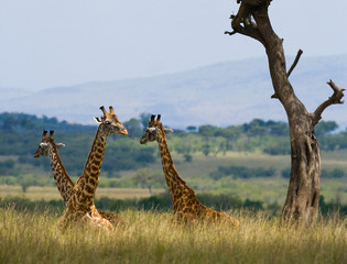Foto op Plexiglas Giraffes are lying and resting on the grass in the savannah. Kenya. Tanzania. East Africa.