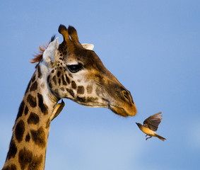 Fototapete - Giraffe with bird. Kenya. Tanzania. East Africa.