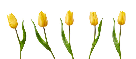 Photo sur Plexiglas Tulip A collection of yellow tulip flowers isolated on a white background