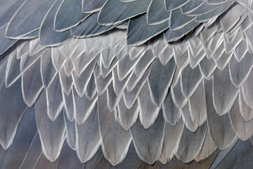 Close-up detail of plumage feather of grey Shoebill, Balaeniceps rex, portrait of big beaked bird, Uganda. Detail wildlife scene from Central Africa. Rare bird in the green grass forest. Wall mural