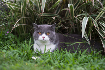 Cute british shorthair playing on the grass