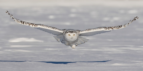Snowy owl flies low over an open snowy field in Ottawa, Canada