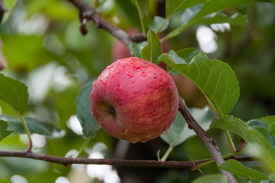 Close up of ripe and juicy royal gala apple on a branch with green leaves