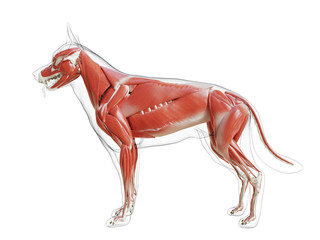 3d rendered medically accurate illustration of the dogs muscle system Wall mural
