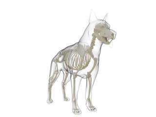 3d rendered medically accurate illustration of a dog skeleton