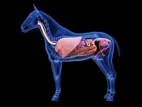 3d rendered medically accurate illustration of the horse anatomy