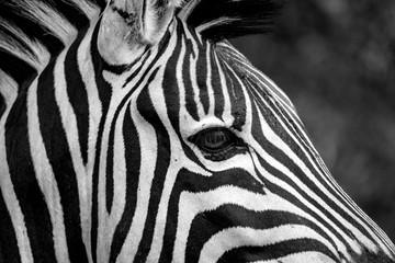 Aluminium Prints Zebra Close Up