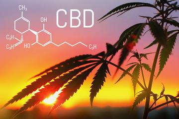 CBD cannabidiol formula, chemistry cannabis. Thematic photos of hemp and marijuana. Growing premium cannabis products. Background image. Molecular structure cbd