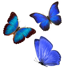 flock of blue butterflies isolated on white