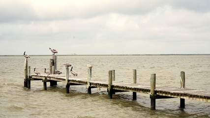 Pelicans Resting on a Fishing Pier