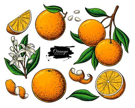 Orange fruit vector drawing. Summer food illustration