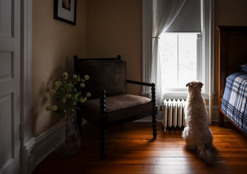 Fluffy dog looking out of bedroom window
