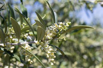 Papiers peints Oliviers Flores de olivo abiertas en primavera