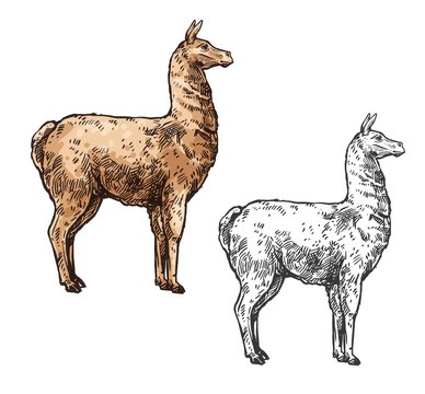 Alpaca or llama sketch South America wild animal