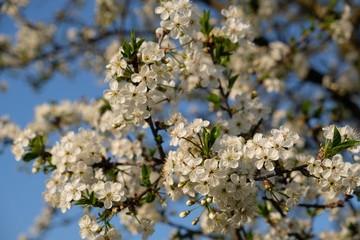 Obraz Kwitnąca śliwa - drzewo owocowe wiosną - fototapety do salonu