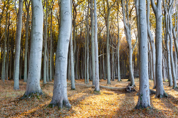 Sunset at Broadleaf Forest / Tall strong tree trunks at autumn forest against sunlight, Warnemünde, Mecklenburg, Germany