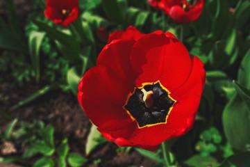 Garden Poster Tulip Open bud of a Red tulp flower closeup under morning sunlight, Selective focus. Gardening concept
