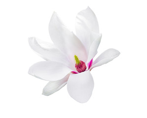 Magnolia soulangeana or saucer magnolia white pink blossom tree flower close up isolated on white background. Clipping path.