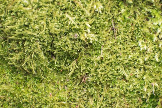 Green moss background in spring.