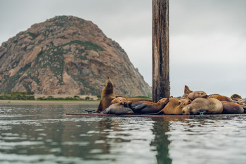 Seal Colony at Morro Bay, California. Morro Rock in Background