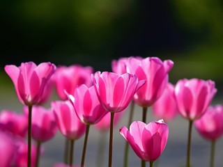 Poster de jardin Rose 木漏れ日浴びて輝くピンクのチューリップ