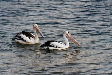 Pelicans in the sea