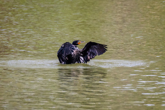 Double-Crested Cormorant Drying Wings While Swimming in Water