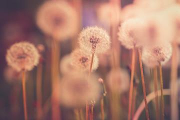 Dandelion field in vintage color effect - retro style