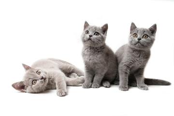 Three kittens British on white background Fotoväggar