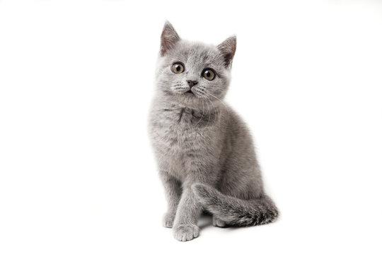 Kitten British blue on white background. Cat sitting