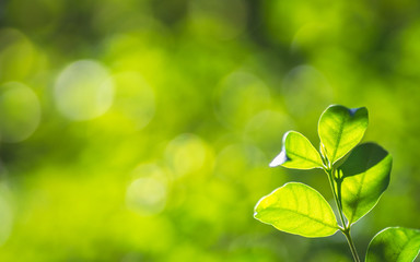 Closeup nature fresh green tree leaves on blurred bokeh greenery background in garden. Green natural wallpaper concept with copy space. Ecology background. Wrightia religiosa Moke plant leaves.