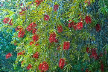 Many red Callistemon flowers on green tree tropical garden Spain