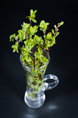 Fresh leaves bouquet. Spring green twigs detail. Beautiful new growth. Closeup of a small transparent glass vase. Bright young shrub branches. Decorative sprigs on a black background. Selective focus.