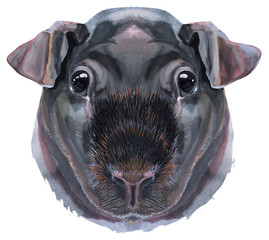 Watercolor portrait of Skinny Guinea Pig on white background