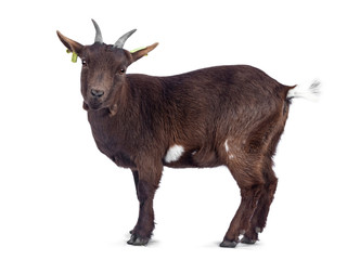 Wall Mural - Cute dark brown pygmy goat, standing backwards / side ways. Looking to camera. Isolated on white background.
