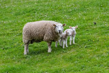 Schaf und Lämmer auf dem Deich