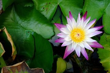 Beautiful Lotus in Pond.