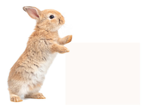 Orang-brown cute baby rabbit standing and touches a billboard on white background. Lovely action of young rabbit.