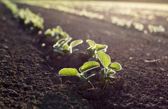 Soybean field  in spring