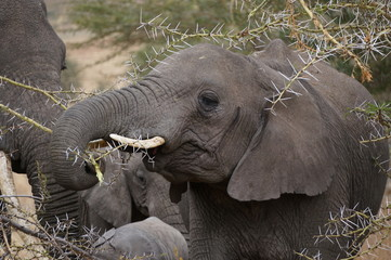 Elephant using trunk to eat prickly trees