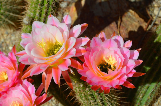 Blooming cactus flowers. Tonto National Monument is a National Monument in the Superstition Mountains, in Gila County of central Arizona.